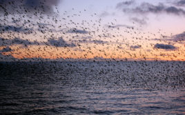 starlings-and-sunset